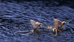 mayflies-mating