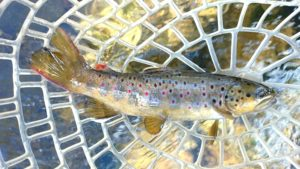 wild brown trout the pecos river new mexico Pecos River Dry Fly Fishing