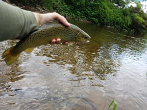 Green Drake West Branch Delaware River Tributary Native Brook Trout Streams Brown Trout