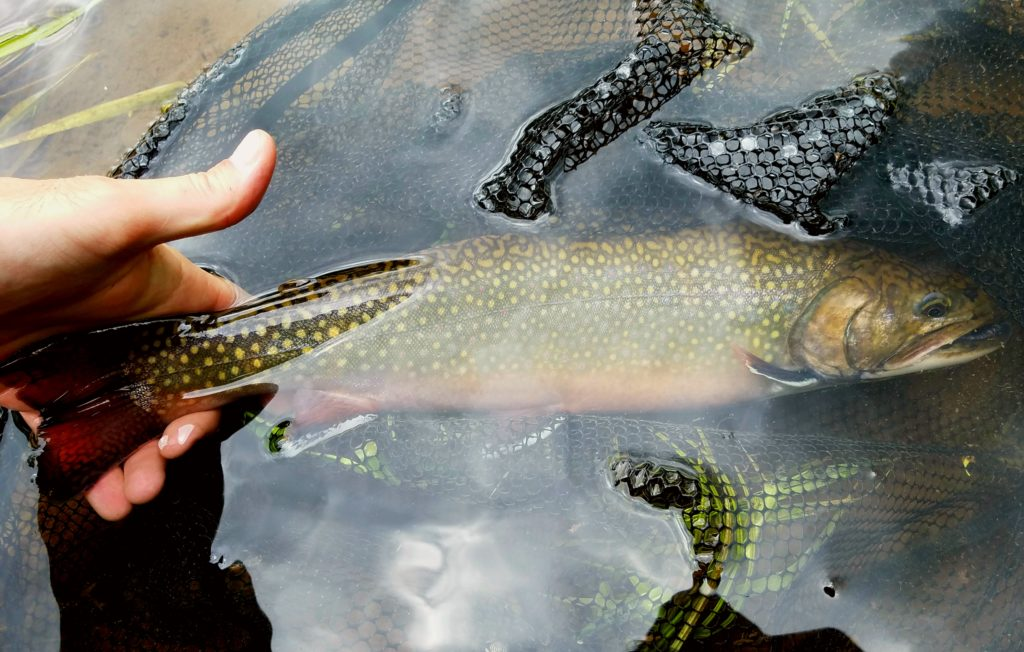 Green Drake West Branch Delaware River Tributary Native Brook Trout Streams