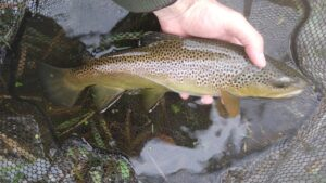PA Early Winter Fly Fishing A Prolonged Terrestrial Season Trout Haven Chubby Chernobyl